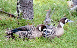 Πουλιά παπιών στις άγρια περιοχές Στοκ εικόνες με δικαίωμα ελεύθερης χρήσης