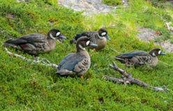 Πουλιά παπιών στο δάσος Στοκ εικόνες με δικαίωμα ελεύθερης χρήσης