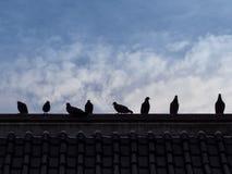Πουλιά περιστεριών αγριοπερίστερων που κάθονται στη στέγη με το μπλε ουρανό ως BA Στοκ Εικόνα
