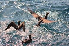 Πουλιά που αλιεύουν και που πετούν Στοκ φωτογραφία με δικαίωμα ελεύθερης χρήσης