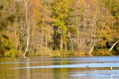 Πουλιά που πετούν πέρα από τη σκηνή φύσης λιμνών Στοκ εικόνες με δικαίωμα ελεύθερης χρήσης