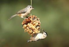 Πουλιά σε έναν Suet τροφοδότη Στοκ Εικόνες
