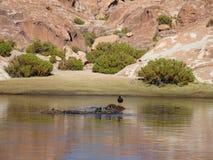 Πουλιά στη Βολιβία Στοκ Φωτογραφία