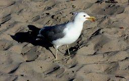 Πουλιά στη φυσική παραλία Καλιφόρνια γεφυρών Στοκ εικόνες με δικαίωμα ελεύθερης χρήσης