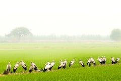 Πουλιά στους τομείς ρυζιού στοκ φωτογραφία με δικαίωμα ελεύθερης χρήσης