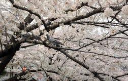 Πουλιά στο δέντρο ανθών κερασιών Στοκ Εικόνες