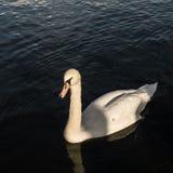 Πουλιά στο πάρκο Hyde Στοκ Εικόνες