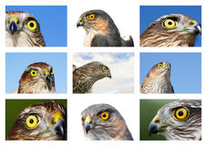 Πουλιά της Ευρώπης και του κόσμου - σπουργίτι-γεράκι Στοκ Εικόνες