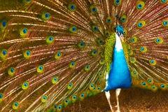 Πουλιά της Ταϊλάνδης επενδύει με φτερά έξω peacock Ζώα Ταξίδι, Τ στοκ εικόνες με δικαίωμα ελεύθερης χρήσης