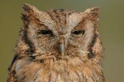 Πουλιά του θηράματος - ευρασιατική κουκουβάγια Scops - Otus Coliba Στοκ φωτογραφία με δικαίωμα ελεύθερης χρήσης
