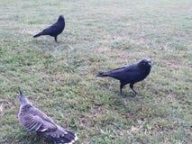Πουλιά του Μπρίσμπαν Στοκ φωτογραφία με δικαίωμα ελεύθερης χρήσης