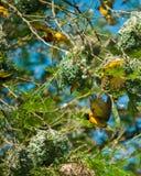 Πουλιά υφαντών στοκ φωτογραφίες με δικαίωμα ελεύθερης χρήσης