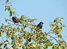 Πουλιά ψαρονιών στο δέντρο Στοκ Φωτογραφίες
