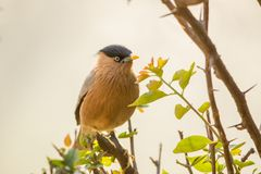 Πουλιά - ψαρόνι Brahminy, εθνικό πάρκο Keoladeo Γκάνα, Bharatpur, Ινδία Στοκ φωτογραφία με δικαίωμα ελεύθερης χρήσης