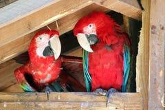 Πουλιά, δύο Aras chloroptere Στοκ εικόνα με δικαίωμα ελεύθερης χρήσης