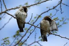 Πουλιά Brubru σκαρφαλωμένα κατοχή καθαρού έναν επάνω Στοκ εικόνες με δικαίωμα ελεύθερης χρήσης