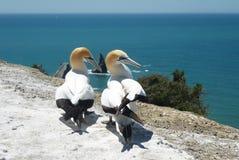 Πουλιά Gannet στοκ φωτογραφία με δικαίωμα ελεύθερης χρήσης