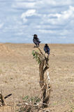 Πουλιά, Serengeti Στοκ Φωτογραφία