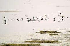 Πουλιά Tring SP νερού Στοκ φωτογραφία με δικαίωμα ελεύθερης χρήσης