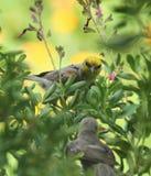 Πουλιά Verdin στην Αριζόνα Στοκ εικόνα με δικαίωμα ελεύθερης χρήσης
