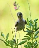 Πουλιά Verdin στην Αριζόνα Στοκ φωτογραφία με δικαίωμα ελεύθερης χρήσης