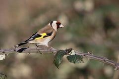 πουλιών carduelis goldfinch βιότοπων timirjazevsky άγρια άγρια φύση της Ρωσίας φωτογραφίας πάρκων της Μόσχας φυσική Στοκ Φωτογραφία