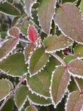Που καλύπτεται η πάχνη βγάζει φύλλα Στοκ Εικόνες
