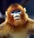που μυρίζεται ο πίθηκος &e στοκ φωτογραφία με δικαίωμα ελεύθερης χρήσης
