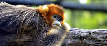 που μυρίζεται ο πίθηκος &e στοκ εικόνα