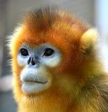 που μυρίζεται ο πίθηκος &e στοκ φωτογραφίες με δικαίωμα ελεύθερης χρήσης