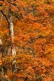 που χρωματίζεται το φθινόπωρο βγάζει φύλλα Στοκ Εικόνες