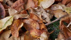Που χρωματίζεται το φθινόπωρο φεύγει κοντά επάνω απόθεμα βίντεο