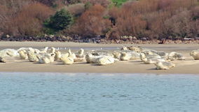 Πολλά λιοντάρια θάλασσας που κοιμούνται στο φράγμα άμμου σε εκβολή ποταμού απόθεμα βίντεο