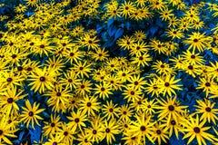 Πολλά κίτρινα λουλούδια στο πάρκο Στοκ Φωτογραφία