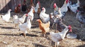 Πολλά κοτόπουλα στο ναυπηγείο πουλερικών σε ένα αγρόκτημα Στοκ εικόνες με δικαίωμα ελεύθερης χρήσης