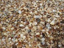 Πολλά κοχύλια στην παραλία Στοκ Εικόνες