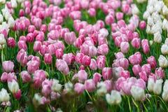 Πολλά μαλακά ρόδινα λουλούδια στη μέση της χλόης Στοκ Φωτογραφίες