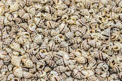 Πολλά μύδια Στοκ Εικόνα