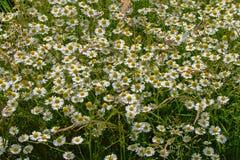 Πολλά λουλούδια μαργαριτών Στοκ φωτογραφίες με δικαίωμα ελεύθερης χρήσης