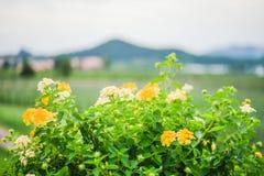 Πολλά λουλούδια στο πρώτο πλάνο και το υπόβαθρο είναι ένα βουνό Στοκ Φωτογραφίες