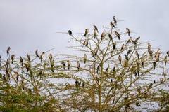 Πολλά πουλιά στο δέντρο στην Κένυα Στοκ Εικόνες