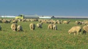 Πολλά πρόβατα κατά τη βοσκή σε έναν τομέα απόθεμα βίντεο