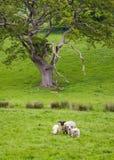 Πολλά πρόβατα σε ένα πράσινο λιβάδι στην Ιρλανδία Στοκ Εικόνες