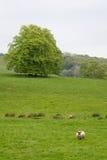 Πολλά πρόβατα σε ένα πράσινο λιβάδι στην Ιρλανδία Στοκ Φωτογραφία