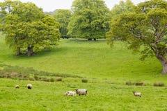 Πολλά πρόβατα σε ένα πράσινο λιβάδι στην Ιρλανδία Στοκ Φωτογραφίες