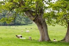 Πολλά πρόβατα σε ένα πράσινο λιβάδι στην Ιρλανδία Στοκ φωτογραφίες με δικαίωμα ελεύθερης χρήσης