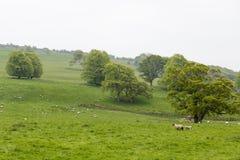 Πολλά πρόβατα σε ένα πράσινο λιβάδι στην Ιρλανδία Στοκ Εικόνα