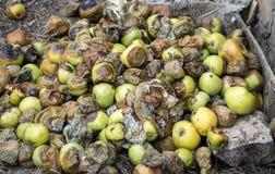 Πολλά σάπια μήλα βρίσκονται στο έδαφος στοκ εικόνες