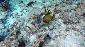 Πολλά ψάρια ψάχνουν τα τρόφιμα απόθεμα βίντεο
