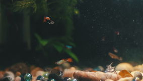 Πολλά όμορφα ζωηρόχρωμα ψάρια με τις μακριές ουρές τουλιού και πρόστιμο στο εγχώριο ενυδρείο απόθεμα βίντεο